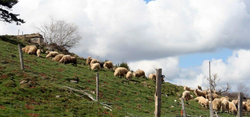moutons en pâture mai
