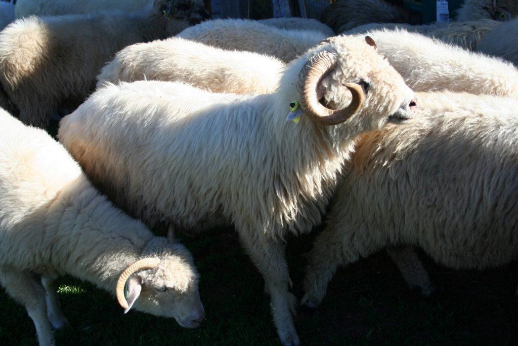 bélier réproducteur Moutons des Carpates