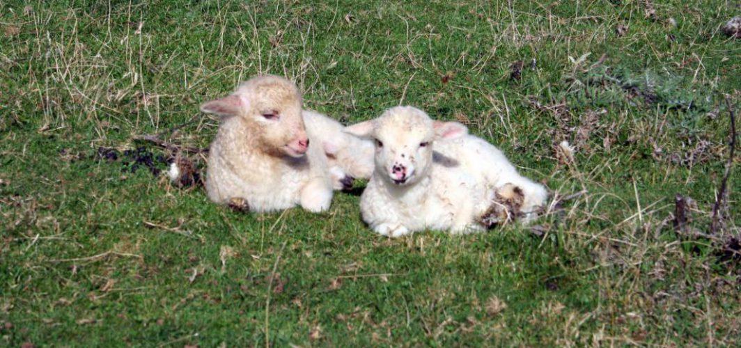 agneaux Moutons des Carpates