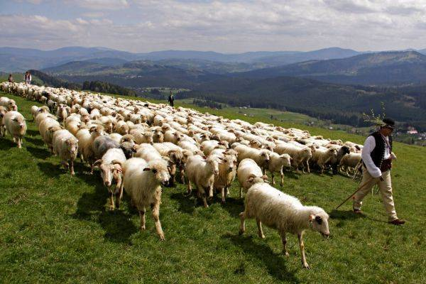 Moutons des Carpates en Pologne