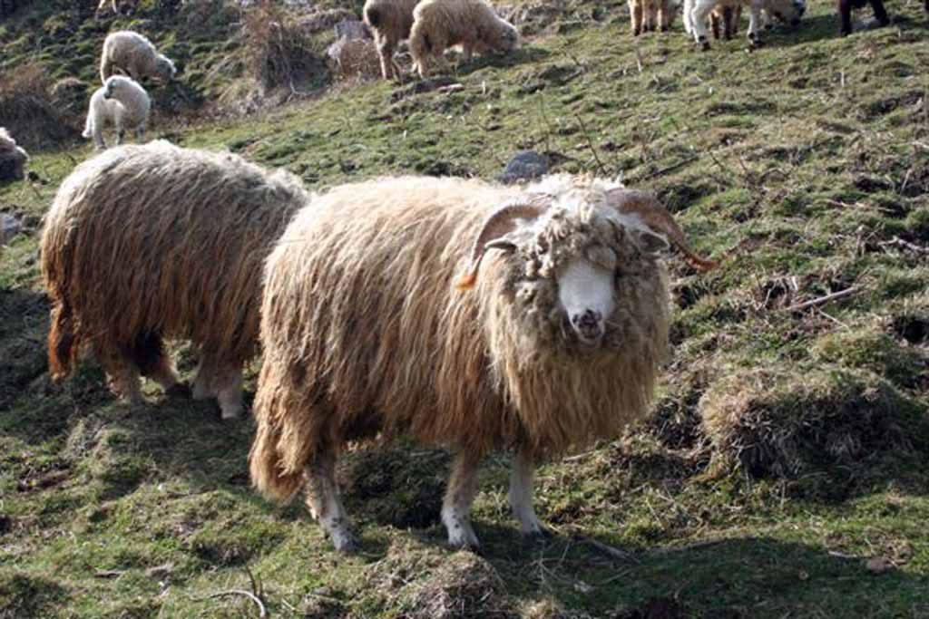 mouton des Carpates