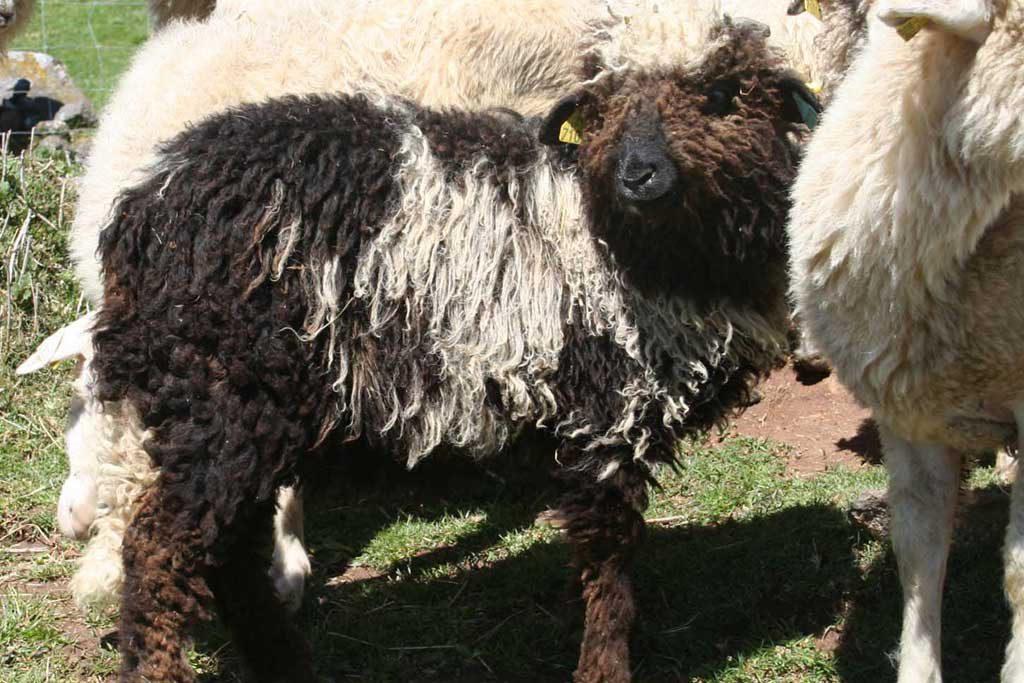 béliers mouton des Carpates