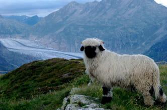 moutons Nez noir du Valais