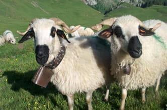 Moutons des Alpes, Thônes et Martod