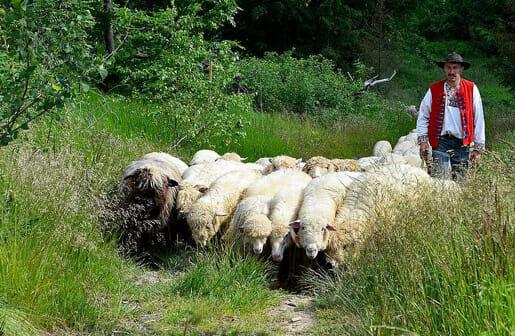 Moutons des Carpates Slovaques