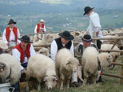 Moutons des Carpates, la traite.