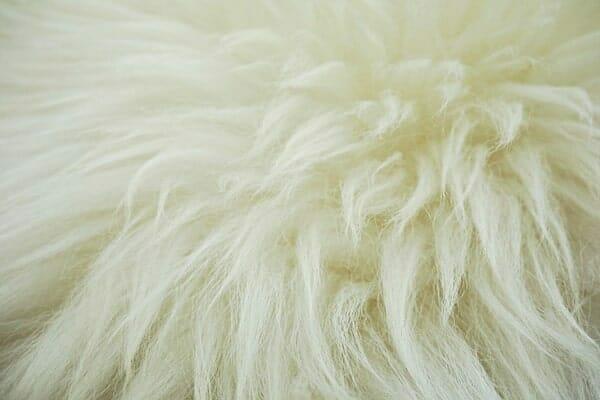 La toison de laine riche en lanoline