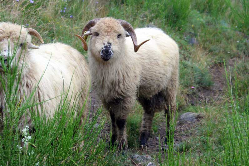 bélier mouton des Carpates