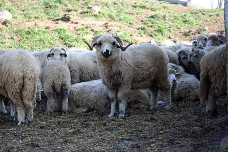 troupeau Moutons des Carpates
