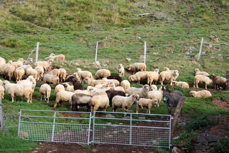 anesse et le troupeau