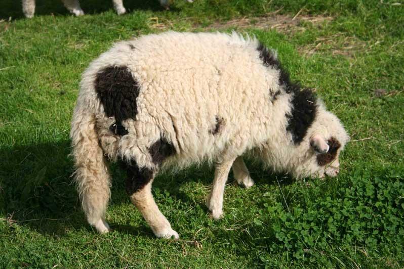 brebis Moutons des Carpates