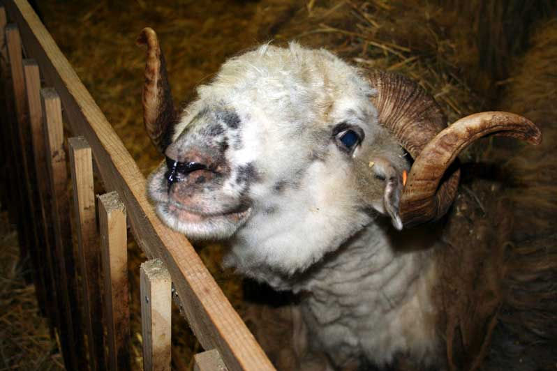 bélier Moutons des Carpates
