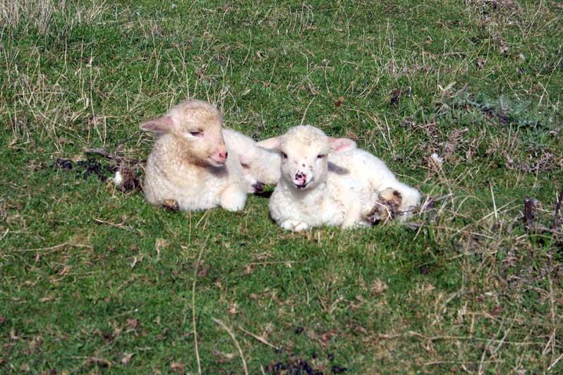 agneaux des Carpates