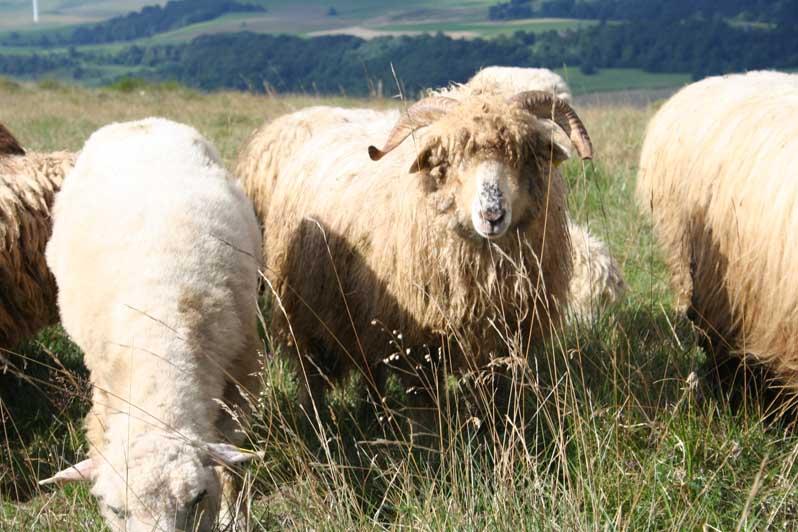 jeune bélier des Moutons des Carpates