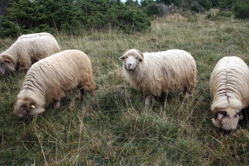 brebis des moutons des Carpates