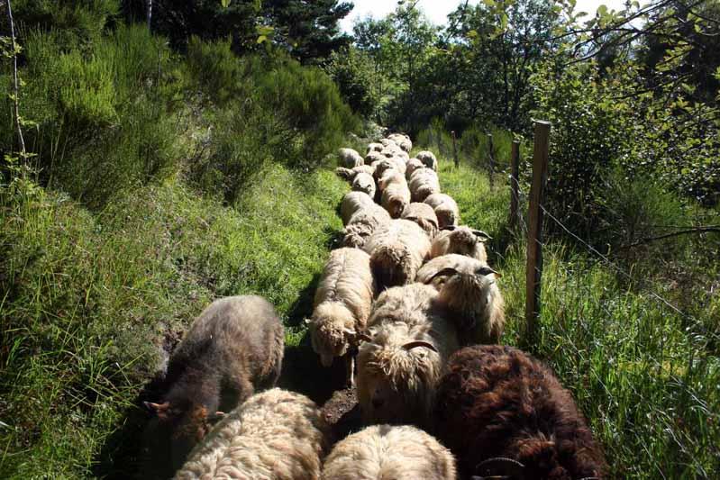 Moutons des Carpates troupeau
