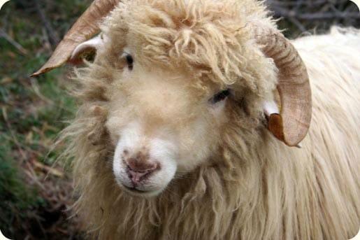 belier Moutons des Carpates