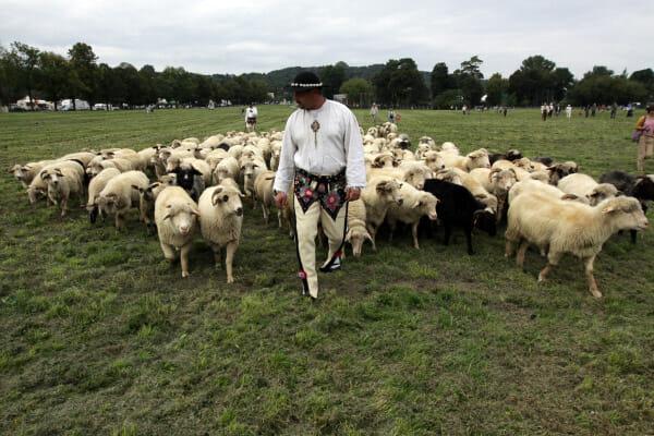 Moutons des Carpates, Zakopane
