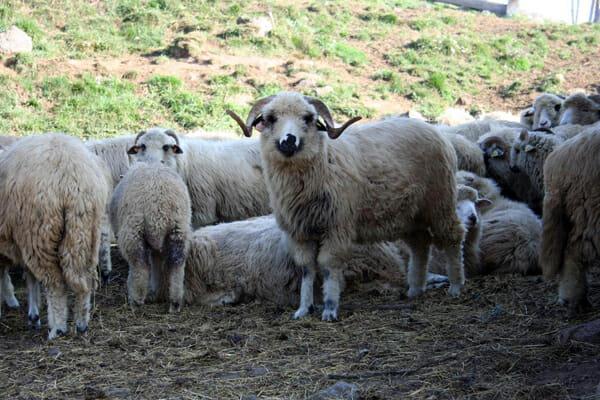 Moutons des Carpates (Tatras)