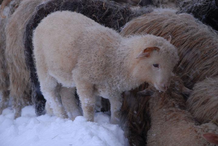 Le retour à la bergerie se fait d'une façon plus calme que la sortie