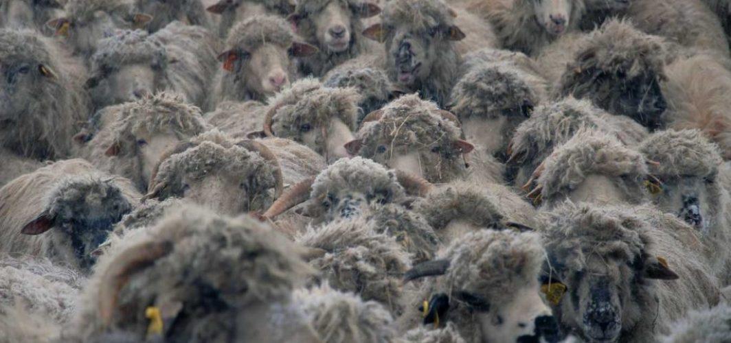 moutons des carpates avec leur couette en laine