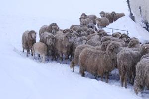 moutons des carpates et leur couette en laine