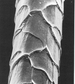 La laine de mouton vue au microscope