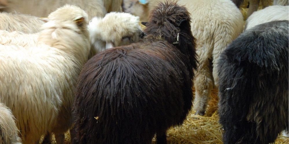 moutons des carpates
