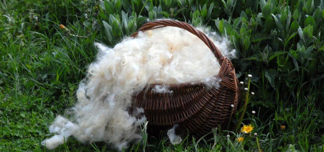 laver la laine de mouton